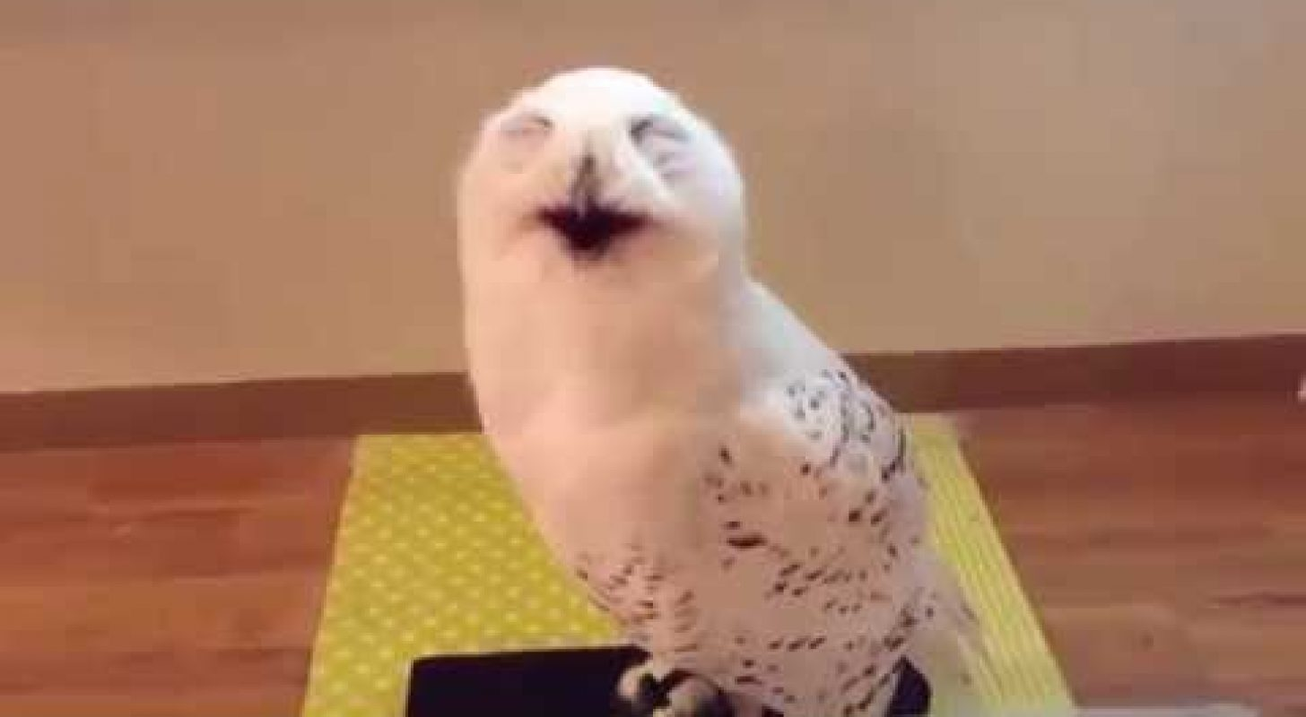 Laughing owl here to cheer you up